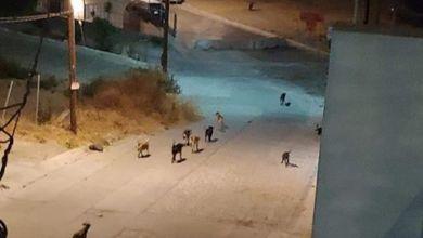 Photo of Denuncia jauría de perros asesinos en Tijuana