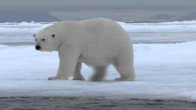 Extinción-de-osos-polares-sería-pronto-alertan-científicos