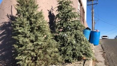 Ayuntamiento-de-Tijuana-extiende-recolección-de-árboles-navideños