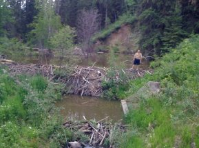 This beaver dam was a bit more sturdy than it looked at first...note also the smaller dam in the foreground