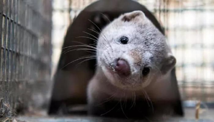 """Photo of Denmark prohibits the breeding of """"mink"""" .. what is the secret?"""