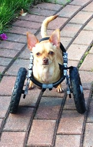 Ellie on Wheels Media named after Chihuahua