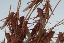 """Photo of """"الزراعة"""" ترصد تجمعات للجراد في الأزرق"""