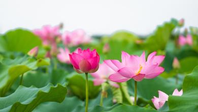 زهور اللوتس التي يصنع منها الحرير في فيتنام