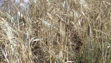 Photo of مخزون القمح يكفي استهلاك المملكة لمدة 9 أشهر