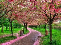 chemin avec arbres roses 2