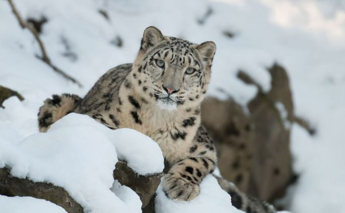 Snow Leopard Trust & Microsoft AI lab, have developed intelligent systems that can read these images of leopards increasing accuracy from 5% to 95%