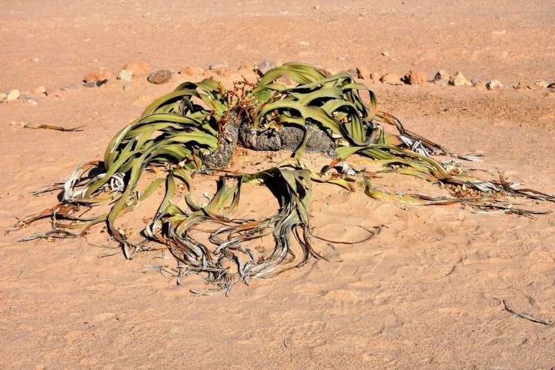 עליו של צמח הוולויצ'ה נמביה