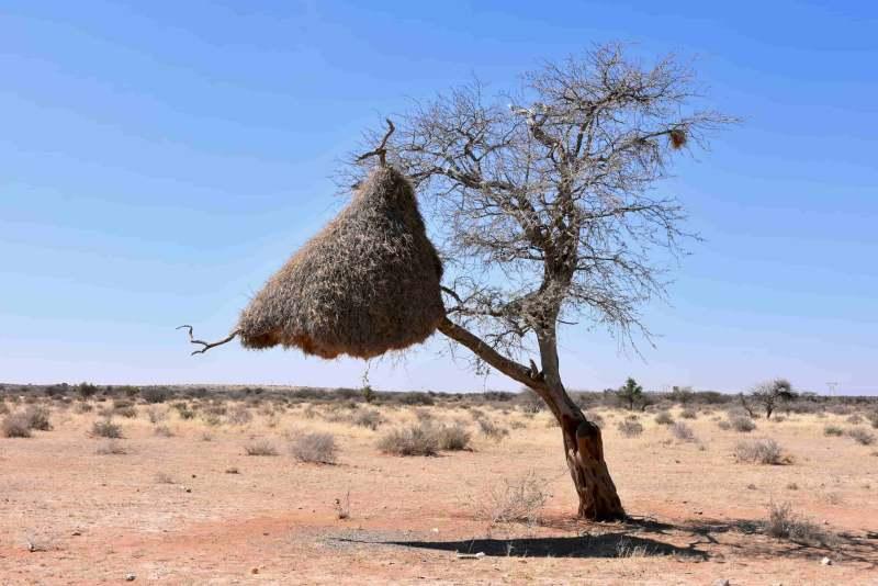 קן ציפורים בנמביה