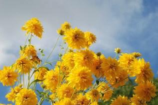 Yellow pop pom flowers