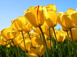 photo of yellow tulips