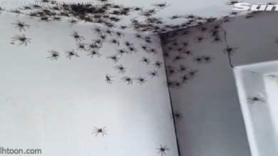 شاهد: عناكب تعسكر في غرفة فتاة - مشاهد المملكة