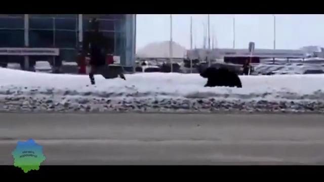 شاهد: دب يهاجم المارة ويروعهم في روسيا - صحيفة هتون الدولية