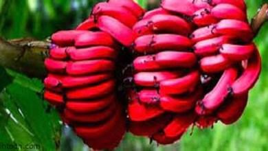 الموز الأحمر وفوائده المذهلة -صحيفة هتون الدولية
