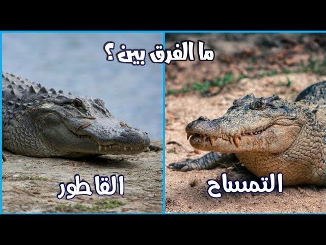 بالفيديو: ما الفرق بين التمساح و القاطور ؟ - صحيفة هتون الدولية