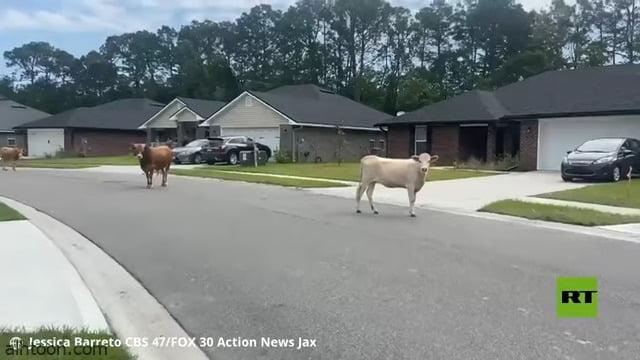 شاهد: أبقار سائبة تغزو حي أمريكي - صحيفة هتون الدولية