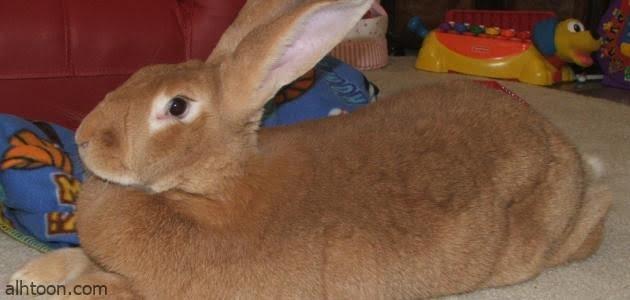 شاهد: مكسيكي يربي أرانب عملاقة تزن 9 كجم - صحيفة هتون الدولية