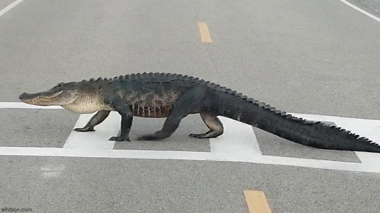 فيديو: تمساح يتجول في شوارع الصين - صحيفة هتون الدولية