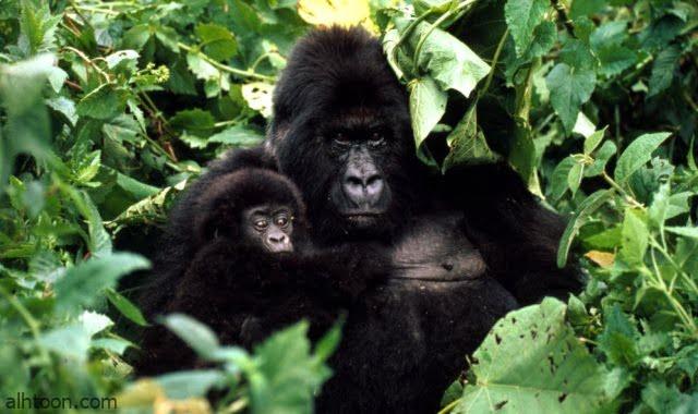 شاهد .. غوريلا تلعب مع حفيدتها الصغيرة - صحيفة هتون الدولية