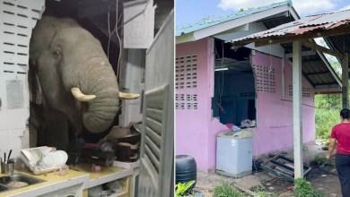 شاهد: فيل يهدم جدران منزل لسبب لم يخطر على البال - صحيفة هتون الدولية