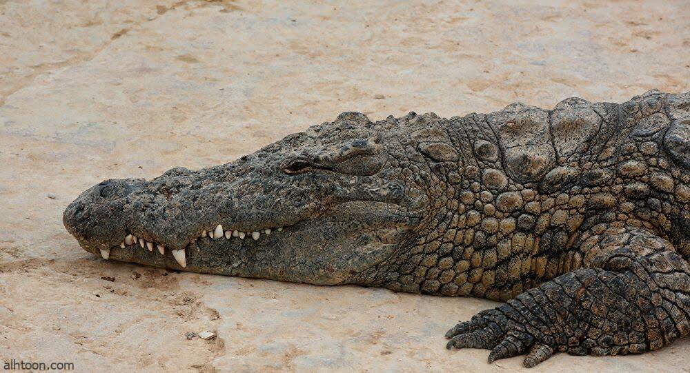 مشهد طريف بين تمساح وطيور - صحيفة هتون الدولية