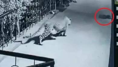 شاهد: نمر جائع يخطف كلب نائم - صحيفة هتون الدولية