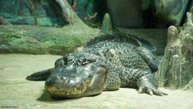 شاهد: تجول تمساح بحي سكني - صحيفة هتون الدولية