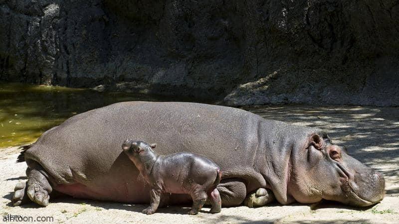 شاهد: حديقة حيوانات تحتفي بولادة فرس نهر - صحيفة هتون الدولية