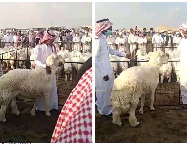 شاهد: خروف يصل في مزاد لـ 70 ألف ريال - صحيفة هتون الدولية