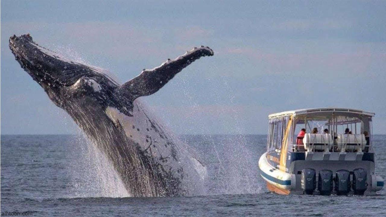 شاهد: حوت ضخم يسبح بجانب قارب - صحيفة هتون الدولية