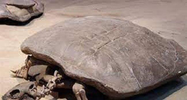 اكتشاف علمي مثير.. سلحفاة بحجم الإنسان -صحيفة هتون الدولية-