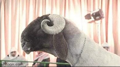 شاهد: خروف بسعر خيالي بالكويت - صحيفة هتون الدولية