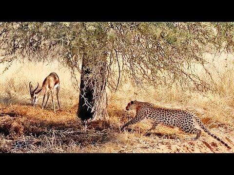 لحظة اصطياد نمر لغزال بري - صحيفة هتون الدولية