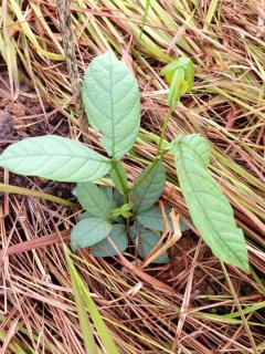 Inga seedling defying allelopathic grass