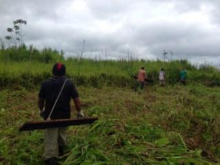 Stomping invasive grasses