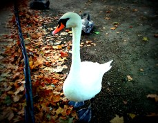 This is a swan I met at St. James Park. I gave him a filter for funsies.