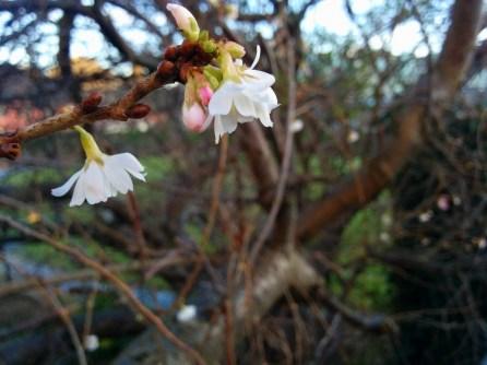 budding tree dublin castle garden