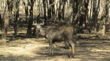 Samba deer - a tiger's favourite food