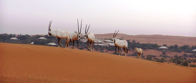 Shifting Sand Dunes, Oryxes and a Calf, Al Maha Bedouin Suites in Background: f/3.2; 1/90sec