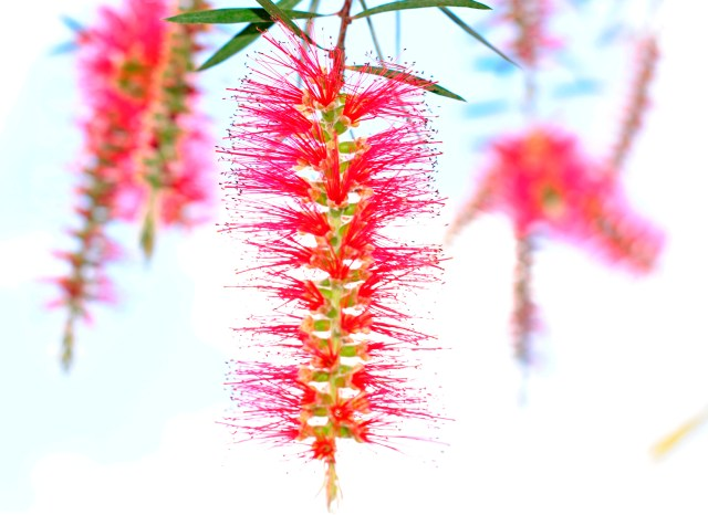 Bottlebrush-genus Callistemon: f/4; 1/200sec; ISO-200