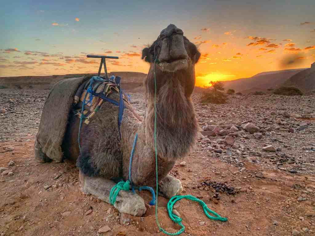 Callum the Camel. Alice Morrison's Draa Expedition
