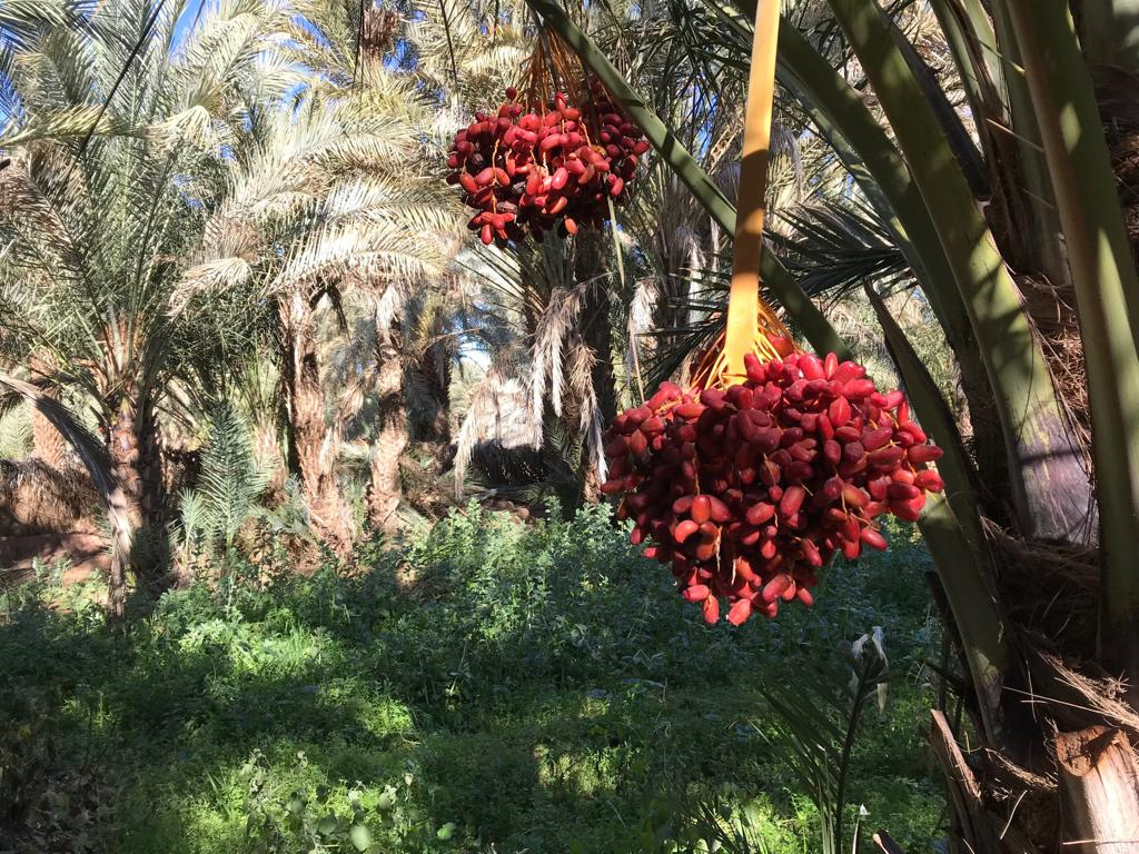 Draa oasis. Alice Morrison's Draa Expedition