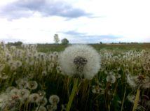 flower blowball spring