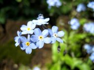 flower forget-me-not spring