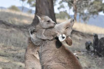 Kangaroos - Babies and mom ]005