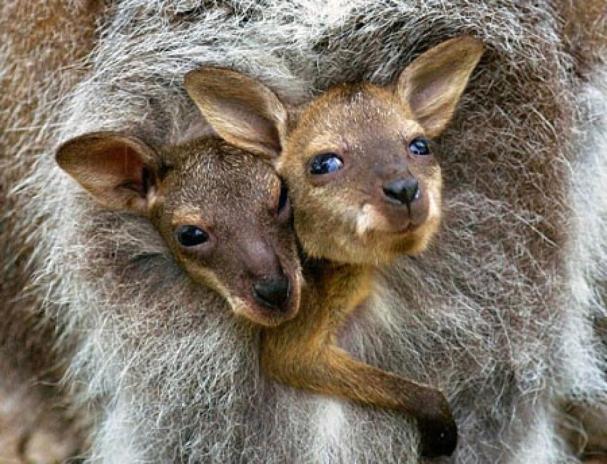 Kangaroos - Babies and mom ]008