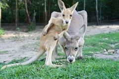 Kangaroos - Babies and mom ]015