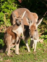 Kangaroos - Babies and mom ]019