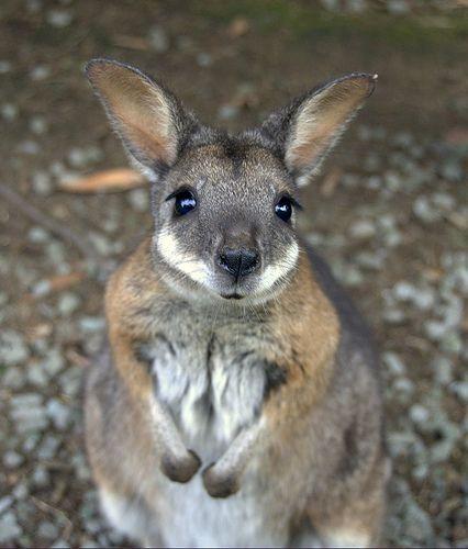 Kangaroos - Babies and young 04
