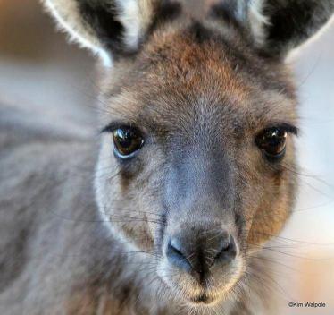 Kangaroos - Babies and young 06